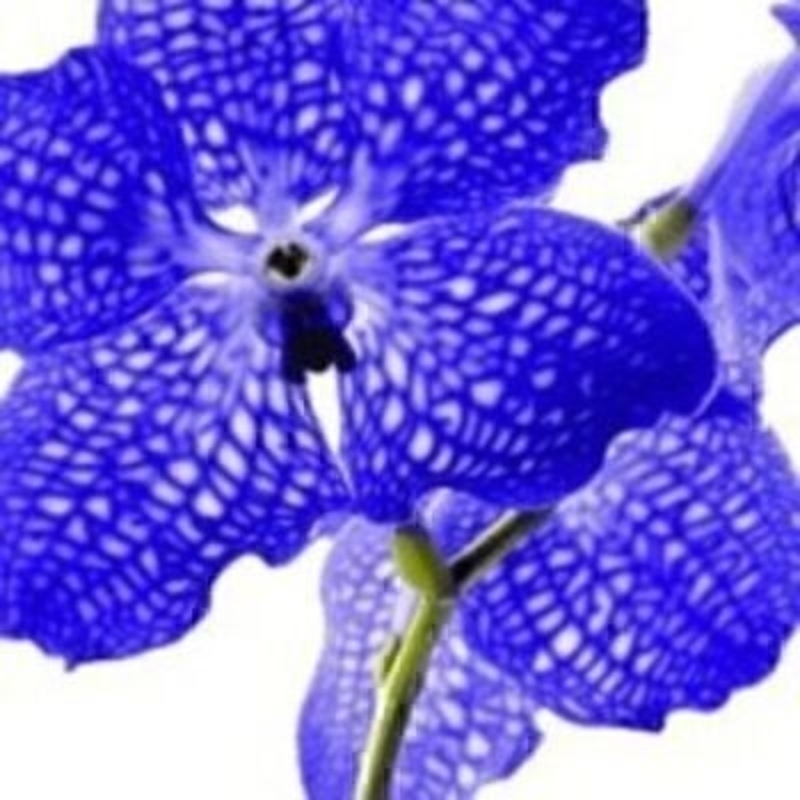Blue Vanda Orchid Napkin: Booker Gifts