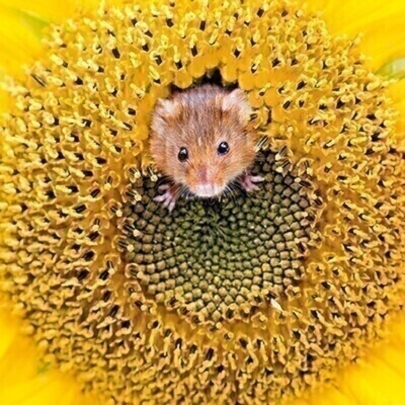 Mouse in Sunflower Blank Greetings Card by Paper Rose: Booker Gifts